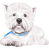 sentada de la raza de Terrier blanco de montaña del oeste del perro Imágenes de archivo libres de regalías
