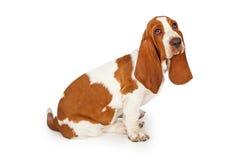 Sentada de mirada triste del perro de Basset Hound Imagen de archivo libre de regalías