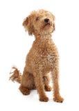 Sentada de oro del perro del color de la mezcla del caniche Imagen de archivo