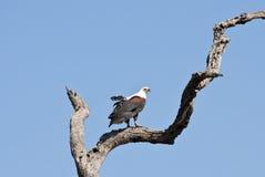 Sentada del águila de pescados fotografía de archivo