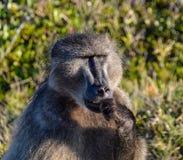 Sentada del babuino Foto de archivo