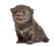 Sentada del cachorro del Fox (4 semanas de viejo) Imagenes de archivo