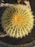 Sentada del cactus Fotos de archivo