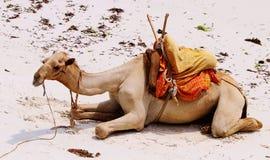 Sentada del camello Fotografía de archivo