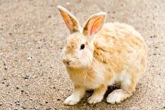 Sentada del conejo de Brown Foto de archivo libre de regalías