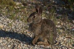 Sentada del conejo de conejo de rabo blanco fotos de archivo