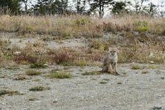 Sentada del Fox rojo Patagonia, la Argentina fotografía de archivo libre de regalías