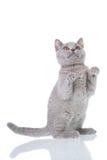 Sentada del gatito Imagen de archivo