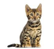 Sentada del gatito de Bengala, 3 meses, Fotos de archivo libres de regalías