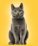 Sentada del gatito de Chartreux, 6 meses, Imagen de archivo libre de regalías