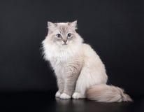 Sentada del gato de Birman Imagenes de archivo
