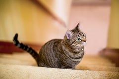 Sentada del gato de Shorthair del americano Fotografía de archivo libre de regalías