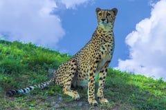 Sentada del guepardo Foto de archivo libre de regalías