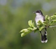 Sentada del Kingbird del este Imagenes de archivo