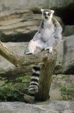 Sentada del Lemur Ring-tailed Fotos de archivo libres de regalías