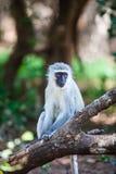 Sentada del mono Imágenes de archivo libres de regalías