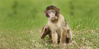 Sentada del mono del bebé Fotos de archivo libres de regalías