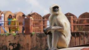 Sentada del mono en el fuerte de Jaigarh almacen de metraje de vídeo