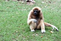 Sentada del mono para buscar la comida. Fotografía de archivo libre de regalías