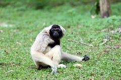 Sentada del mono para buscar la comida. Imagen de archivo