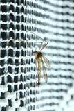 Sentada del mosquito (pipiens del mosquito) Imagenes de archivo
