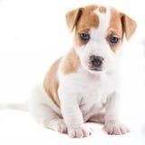 Sentada del perrito de Gato Russel imagen de archivo libre de regalías
