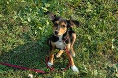 Sentada del perrito de Meagle fotografía de archivo libre de regalías