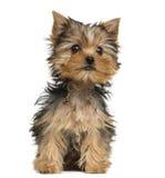 Sentada del perrito de Yorkshire Terrier, 3 meses Fotografía de archivo