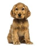Sentada del perrito del cocker, mirando la cámara Foto de archivo libre de regalías