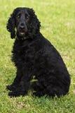 Sentada del perro de aguas del inglés negro Imagenes de archivo