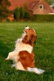Sentada del perro de Kooijker Fotografía de archivo libre de regalías
