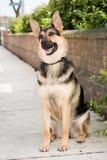 Sentada del perro de pastor alemán Imagenes de archivo
