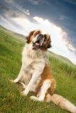 Sentada del perro del St. Bernard Foto de archivo libre de regalías