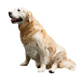 Sentada del perro perdiguero de oro Imagenes de archivo