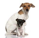Sentada del terrier de Gato Russell del adulto y del perrito Imagen de archivo libre de regalías