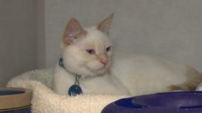 Sentada felina blanca en cama en jaula metrajes