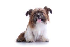 Sentada feliz del perrito del tzu del shih Imagen de archivo