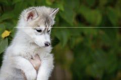 Sentada fornida del perrito mullido lindo en las manos que miran abajo fotografía de archivo