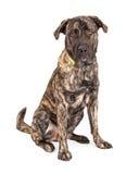 Sentada gigante hermosa del perro de la raza Fotografía de archivo