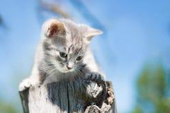 Sentada gris del gatito Fondo del cielo azul outdoor Imagen de archivo libre de regalías
