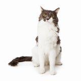 Sentada gris y blanca del gato Imagen de archivo