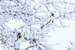 Sentada importante del Parus en las ramas cubiertas con helada Foto de archivo