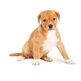 Sentada linda del perrito del híbrido Imagenes de archivo