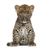 Sentada manchada del cachorro del leopardo - pardus del Panthera, 7 semanas de viejo foto de archivo libre de regalías