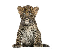 Sentada manchada del cachorro del leopardo - pardus del Panthera, 7 semanas de viejo Fotos de archivo libres de regalías