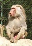 Sentada masculina del babuino Imagen de archivo libre de regalías