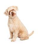 Sentada mayor del perro de caniche Foto de archivo libre de regalías