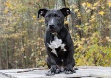 Sentada mezclada negra del perro de perrito de la raza Fotos de archivo libres de regalías