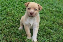Sentada mezclada perro del perrito de la raza del canto de Nueva Guinea Imagenes de archivo