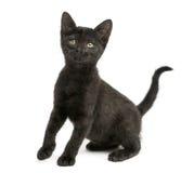 Sentada negra del gatito, mirando para arriba, 2 meses, aislados Fotografía de archivo libre de regalías